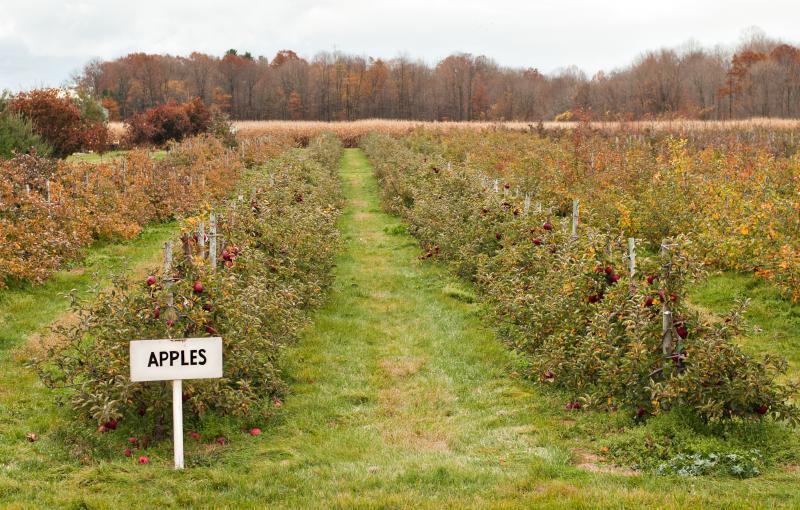 A row of apple trees
